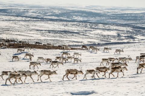 Beim Wechsel der Jahreszeiten begleiten samische Traditionsbetriebe ihre weiterziehenden Rentierherden.