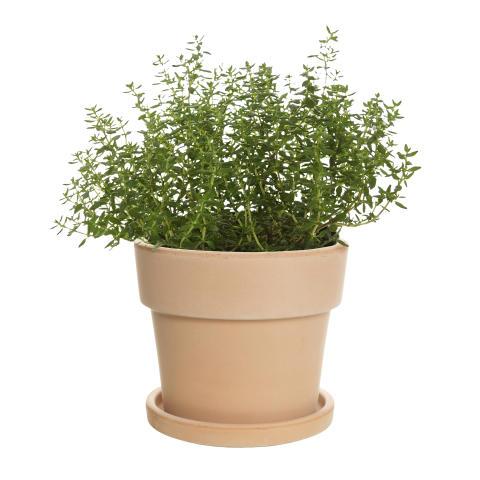 Timjan kryddväxt