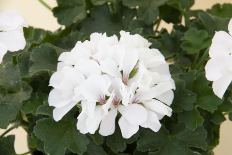 Pelargonium Marcada White