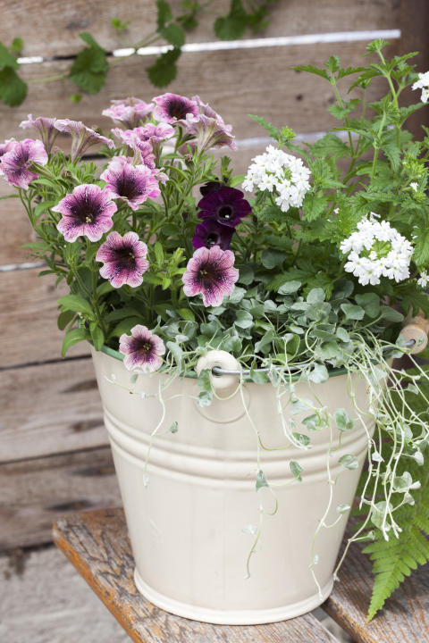 Petunia i samplantering