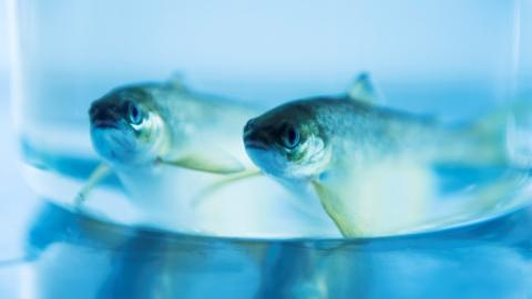Why we screen our brood stock fish against pathogens