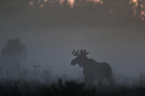 V-Traffic varnar för skogens mäktigaste djur innan olyckan är framme