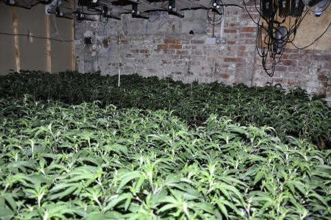 Huge cannabis farm with nearly 3,000 plants found in St Helens