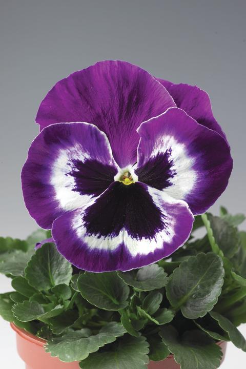 Storblommiga penséen 'Violet and White'