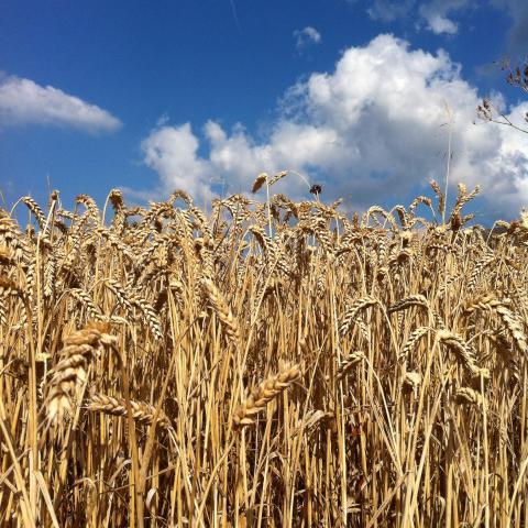 Hellere fuld af korn end kornfed