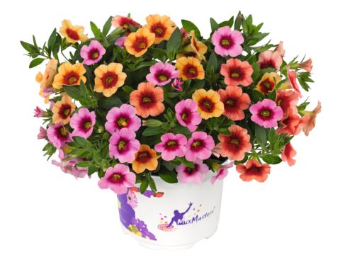 Småpetunia för bordsdekoration - Calibrachoa Conga MixMasters Orange Peach Pink