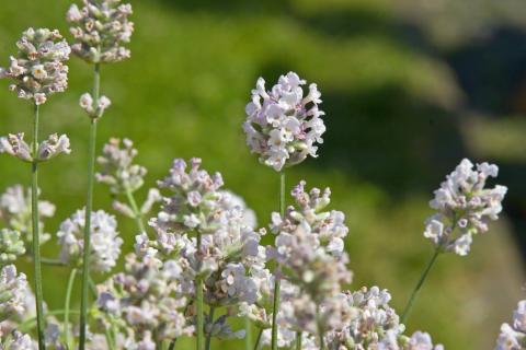 Lavendel, Lavandula Aromatico Silver.