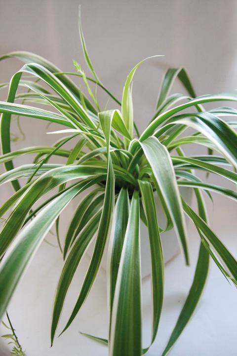 Ampellilja, Chlorophytum comosum