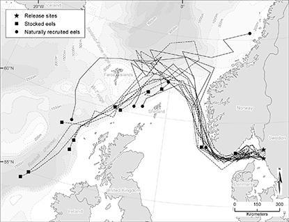 Även utplanterad ål hittar vägen till Sargassohavet
