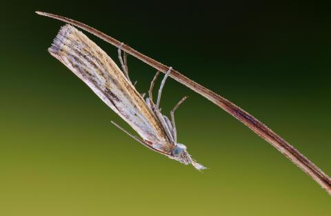 Gräsmott. Det finns ca 3 200 olika fjärilar i Sverige.