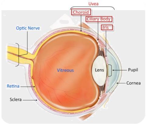 CHMP ger HUMIRA® (adalimumab) positivt utlåtande för behandling av icke-infektiös uveit