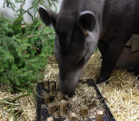 Kolmårdens tapirer äter nu långsammare