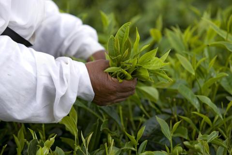 Mauritius_cueillete de feuilles de thé ©MTPA_Bamba