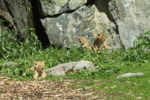 Borås Djurparks lejonungar ute för första gången