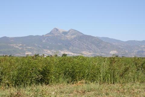Lakritsrotsåker i Kalabrien