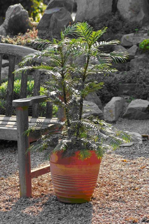 Tillfälle för alla att se och beställa Wollemi Pine™
