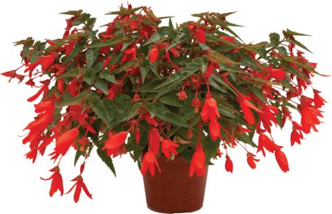 Begonia 'Bonaparte Orange'