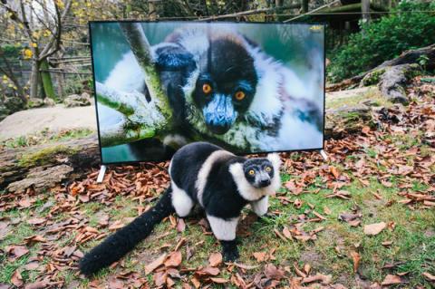 Sony4K_Lemur