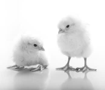 Hurtig transport af daggamle kyllinger - en specialopgave for Jetpak