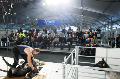 sheep shearing_farklipp