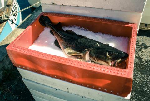 EU-kommissionen nödstoppar torskfisket i södra Östersjön