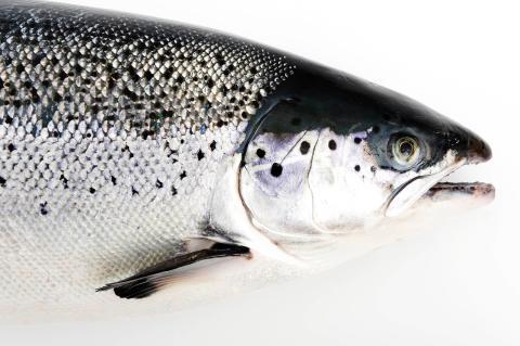 Fisk är säker och hälsosam mat – odlad lax innehåller mindre dioxiner och PCB än vild fet fisk