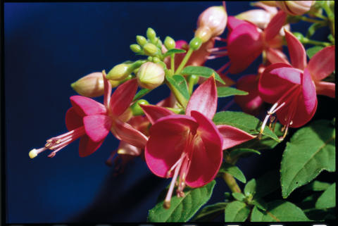 Fuchsia 'Cherry'