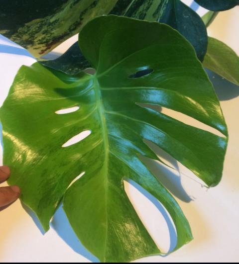 Monstera deliciosa variegata aurea (L)