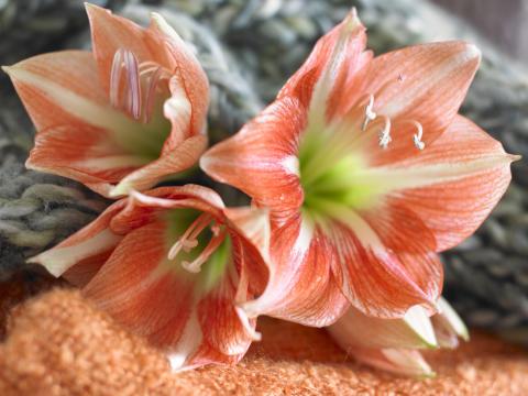 Röd och vit amaryllis