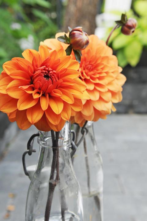 Orange dahlia i vas