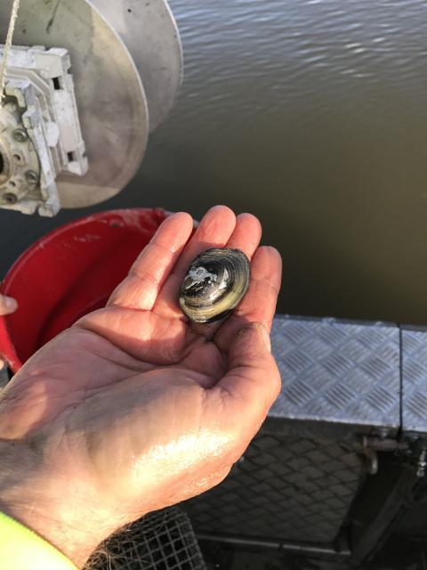 Rödlistade musslor tas omhand och omplaceras i Västerås hamn