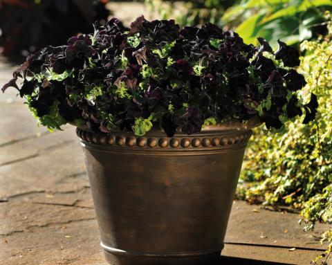 Petunia Mystic Black Velvet