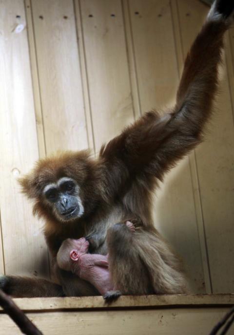 Ny gibbonunge född