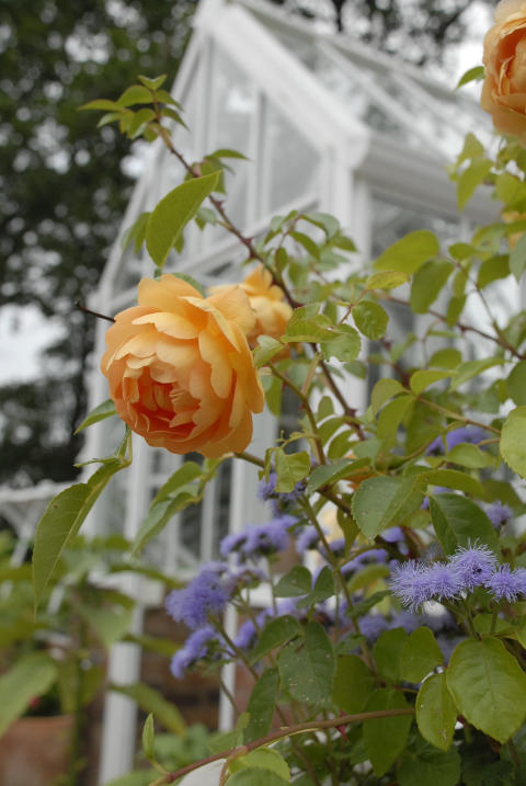 My English rose garden