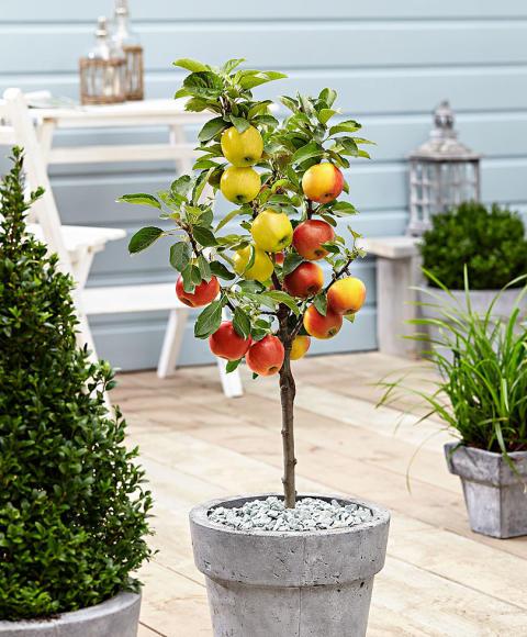 Exklusivt hos Bakker.com: 3 Äppelsorter på 1 Träd
