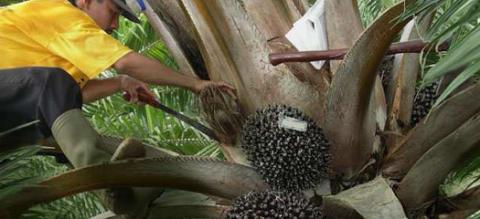 Sodexo topprankas för ansvarsfulla inköp av palmolja