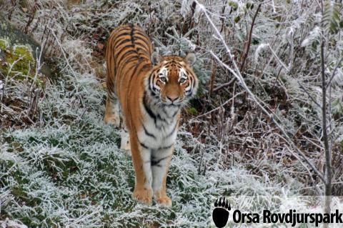 Ny amurtiger för att rädda arten – nu inflyttad i Orsa Rovdjurspark
