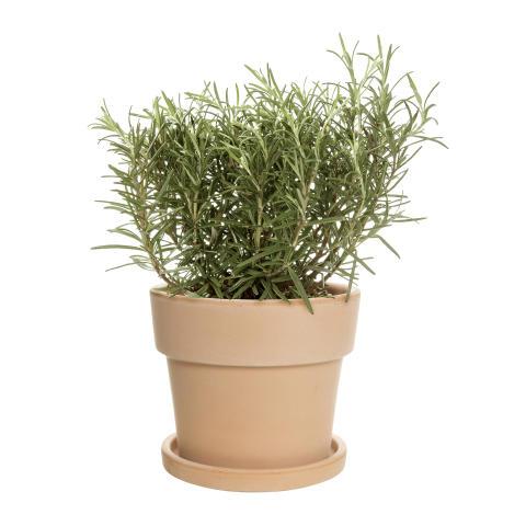 Rosmarin kryddväxt
