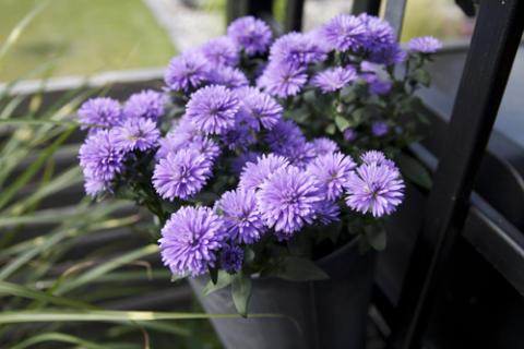 Månadens Blomma augusti 2010