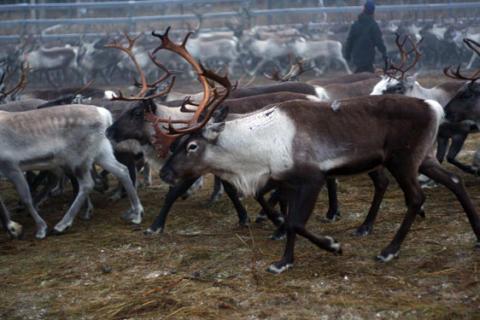 Stora brister i hur rennäringen styrs – statsvetare kräver politisk översyn