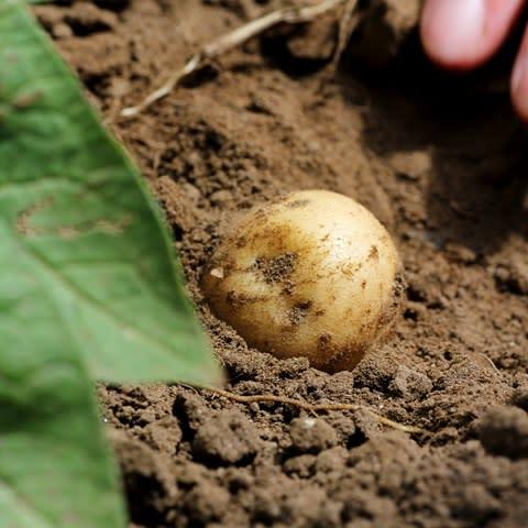 Nordiskt samarbete för hållbar potatisodling