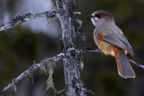 Oroande utveckling för fåglarna i Sveriges skogar