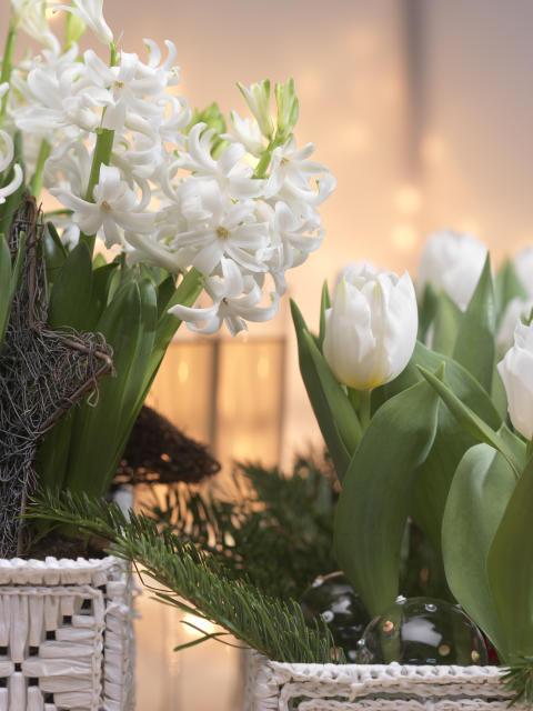 Vita tulpaner och hyacinter