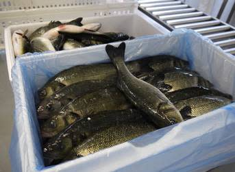 UK seabass farmer snaps up Whole Foods contract