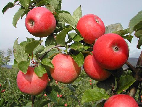 Aroma epler på grein