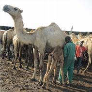 Chr. Hansen and Kenyan enterprise develop camel cheese recipes