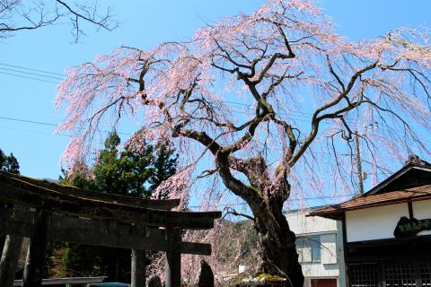 Spring in Nikko: The Cherry Blossom Season Arrives 300-year-old Cherry Trees and Cherry Blossom Confectionary