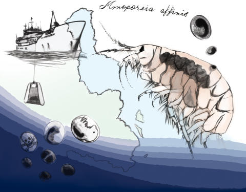 Små kräftdjur tar tempen på miljöläget i Östersjön