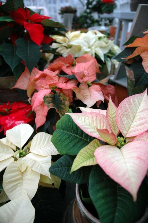 Julstjärnans Dag 12 december