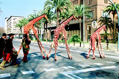 Giraffer